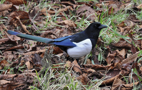 3_Magpie close up 223